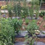 野菜づくりはどれだけ手間をかけて育てた結果がでる。