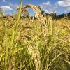 ごはんを残さず食べるようになるために稲作を経験する