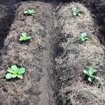ゆっくりを楽しむのが栽培なんですね。